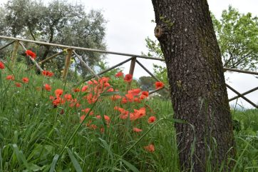 Poppies in Spello